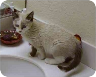 Siamese Kitten for adoption in Irvine, California - Simsi