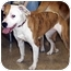 Photo 2 - Pit Bull Terrier Mix Dog for adoption in Overland Park, Kansas - Abby