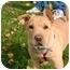 Photo 1 - Shar Pei/Shepherd (Unknown Type) Mix Puppy for adoption in Avon, New York - Pumpkin