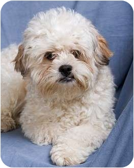 Poodle (Toy or Tea Cup) Mix Dog for adoption in Anna, Illinois - DUFFY
