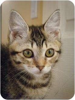 Domestic Shorthair Kitten for adoption in Snohomish, Washington - Emmy