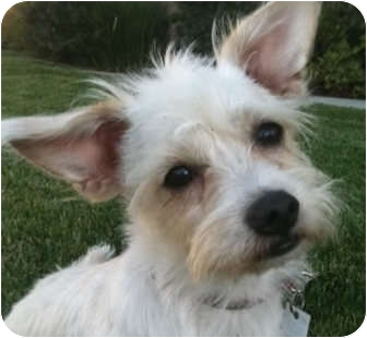 Westie, West Highland White Terrier Mix Dog for adoption in Pasadena, California - DOBBY