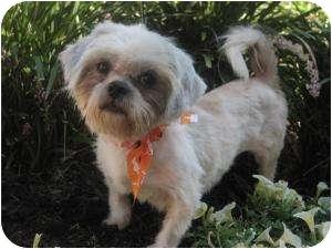 Shih Tzu Dog for adoption in New Milford, Connecticut - Niki