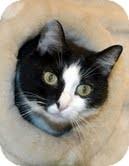 Domestic Shorthair Cat for adoption in Medina, Ohio - Moo Shoo