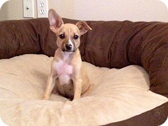 Chihuahua Mix Puppy for adoption in Coventry, Rhode Island - Peter