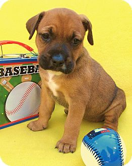 Boxer/Beagle Mix Puppy for adoption in Irvine, California - Diamond