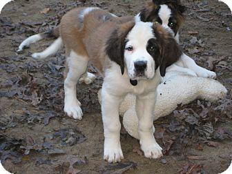 St. Bernard Puppy for adoption in Sudbury, Massachusetts - HIGGINS