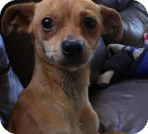Chihuahua/Dachshund Mix Dog for adoption in St. Petersburg, Florida - Ginger