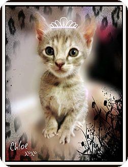American Shorthair Kitten for adoption in Pascagoula, Mississippi - Chloe