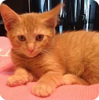 Domestic Shorthair Kitten for adoption in Palatine, Illinois - Pumpkin