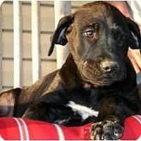 Adopt A Pet :: Simon - Westbrook, CT