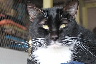 Domestic Mediumhair Cat for adoption in Golden Valley, Arizona - Kanoa