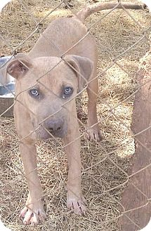 Pit Bull Terrier Mix Puppy for adoption in Moulton, Alabama - Bubbles