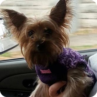 Yorkie, Yorkshire Terrier Dog for adoption in Russellville, Kentucky - Jazzie