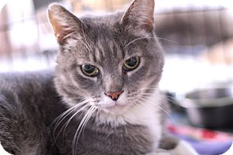 Domestic Shorthair Cat for adoption in Chicago, Illinois - Graymond