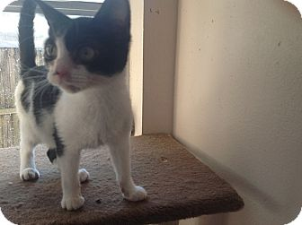 Domestic Shorthair Kitten for adoption in Tampa, Florida - C3PO