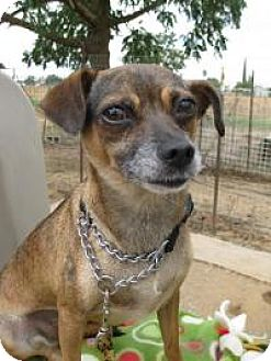 Chihuahua/Terrier (Unknown Type, Small) Mix Dog for adoption in Elk Grove, California - WHITNEY