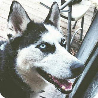 Siberian Husky Dog for adoption in Memphis, Tennessee - Kiya