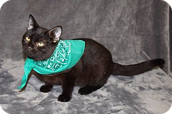 Domestic Shorthair Kitten for adoption in Jackson, Mississippi - Jasper