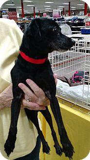 Miniature Pinscher Mix Dog for adoption in Floral City, Florida - Jack