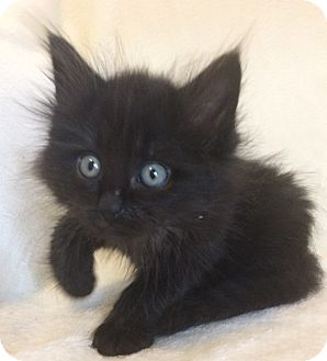 Maine Coon Kitten for adoption in Nashville, Tennessee - Forrest