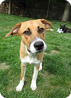 Hound (Unknown Type) Mix Dog for adoption in Croydon, New Hampshire - Joy - Adopted!