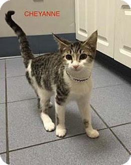 Domestic Shorthair Kitten for adoption in Merrifield, Virginia - Cheyanne