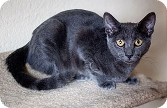 Domestic Shorthair Kitten for adoption in Prescott, Arizona - Anna