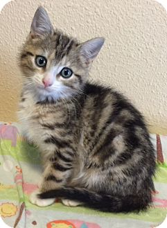 Domestic Mediumhair Kitten for adoption in Meridian, Idaho - Babycakes