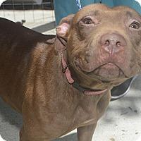 Adopt A Pet :: Shanti - St. Thomas, VI