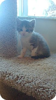 Domestic Shorthair Kitten for adoption in Hollywood, Florida - Parker