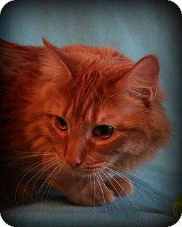 Maine Coon Cat for adoption in Allentown, Pennsylvania - Raphael