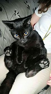 Domestic Shorthair Cat for adoption in Gilberts, Illinois - BUDDY