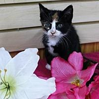 Adopt A Pet :: Lillie - Mocksville, NC