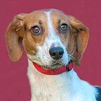 Adopt A Pet :: Cora Beth - Glen Allen, VA