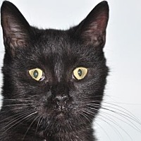 Domestic Shorthair Kitten for adoption in Alexandria, Virginia - Esso