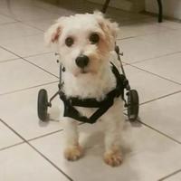 Adopt A Pet :: Scooter - Davie, FL