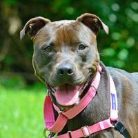 American Pit Bull Terrier Mix Dog for adoption in Annapolis, Maryland - Paws Savannah