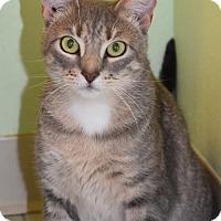 Adopt A Pet :: Silver Angel - Venice, FL
