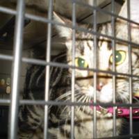 Adopt A Pet :: VIXIE - Inverness, FL