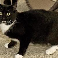 Adopt A Pet :: Velma - Cashiers, NC