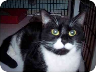 Domestic Shorthair Cat for adoption in Medina, Ohio - Molly