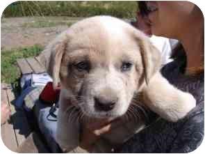 Australian Cattle Dog/Australian Shepherd Mix Puppy for adoption in Phoenix, Arizona - Justice *Adopted*