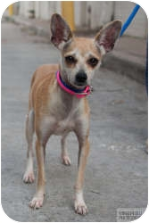 Italian Greyhound/Chihuahua Mix Dog for adoption in Houston, Texas - Carlotta