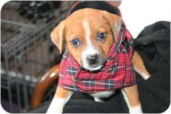 Boxer Mix Puppy for adoption in Hainesville, Illinois - Baby Boy