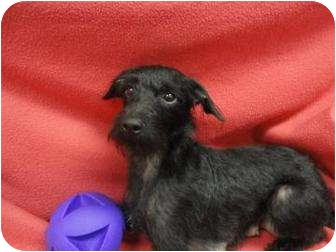 Miniature Schnauzer/Terrier (Unknown Type, Medium) Mix Dog for adoption in Spruce Pine, North Carolina - Doodle