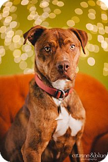 Pit Bull Terrier Mix Dog for adoption in Portland, Oregon - Tiger