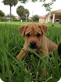 Chow Chow/Shar Pei Mix Puppy for adoption in Homestead, Florida - Sonic