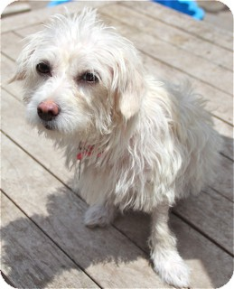 Maltese/Poodle (Miniature) Mix Dog for adoption in Norwalk, Connecticut - Lambchop - very special