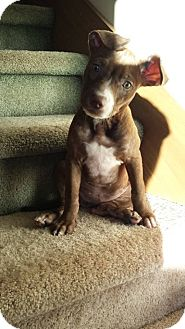 American Pit Bull Terrier/Rottweiler Mix Puppy for adoption in Roaring Spring, Pennsylvania - Anna Belle